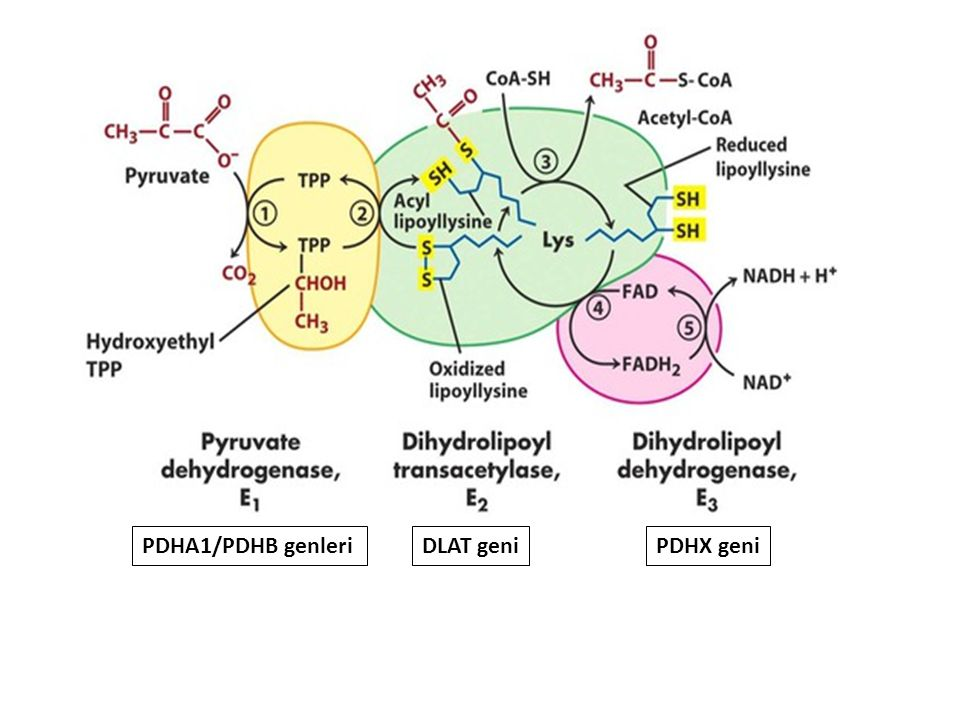 PDHA1/PDHB genleri DLAT geni PDHX geni