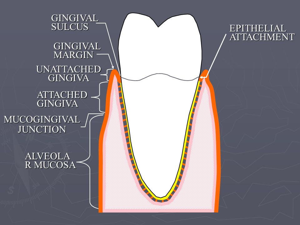 GINGIVAL MARGIN UNATTACHED GINGIVA. GINGIVAL SULCUS. EPITHELIAL ATTACHMENT. ATTACHED GINGIVA. ALVEOLAR MUCOSA.