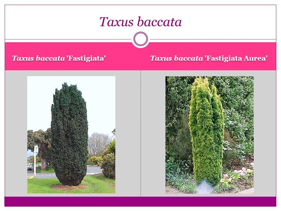 Taxus baccata Taxus baccata Fastigiata