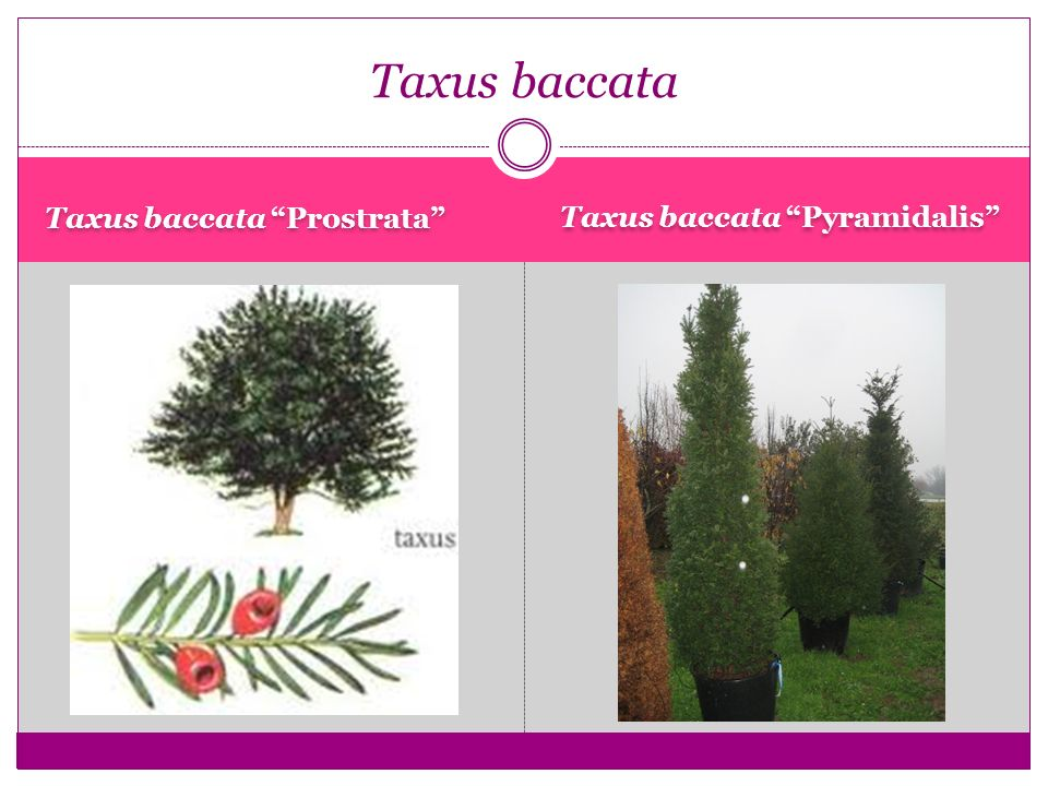 Taxus baccata Taxus baccata Prostrata Taxus baccata Pyramidalis