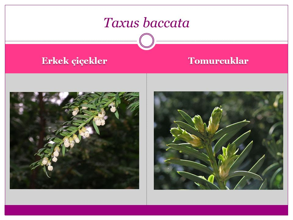Taxus baccata Erkek çiçekler Tomurcuklar