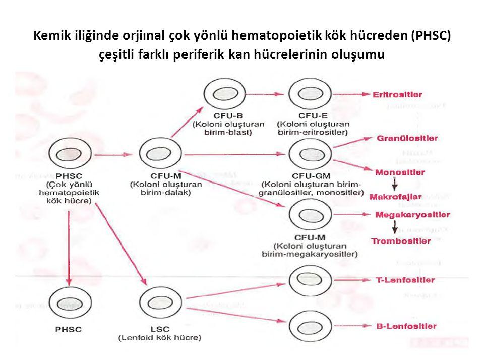 Kemik iliğinde orjiınal çok yönlü hematopoietik kök hücreden (PHSC) çeşitli farklı periferik kan hücrelerinin oluşumu