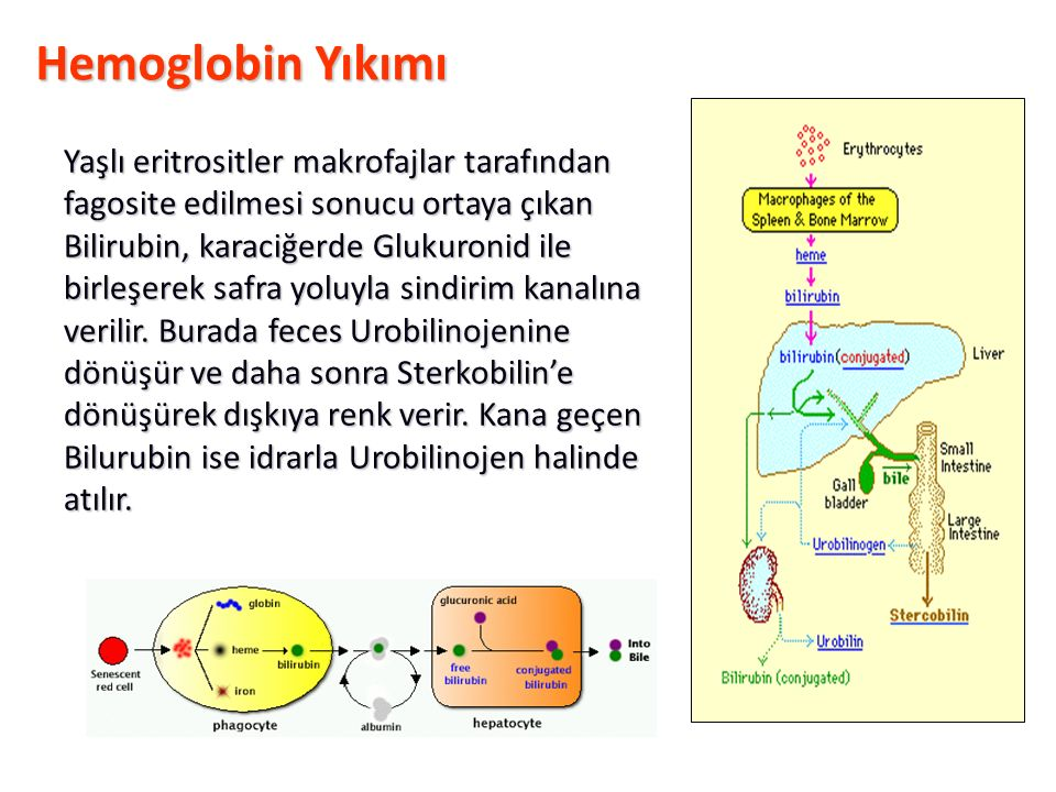 Hemoglobin Yıkımı