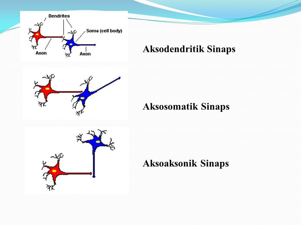 Aksodendritik Sinaps. Aksosomatik Sinaps.