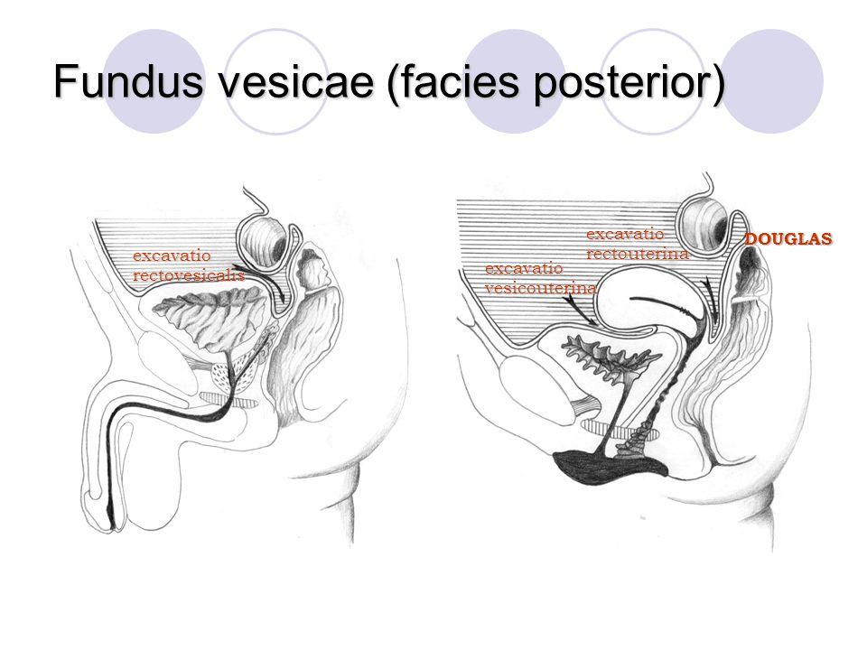 Fundus vesicae (facies posterior)