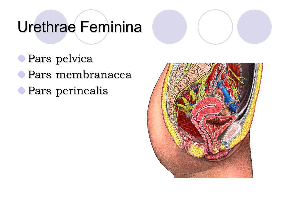 Urethrae Feminina Pars pelvica Pars membranacea Pars perinealis