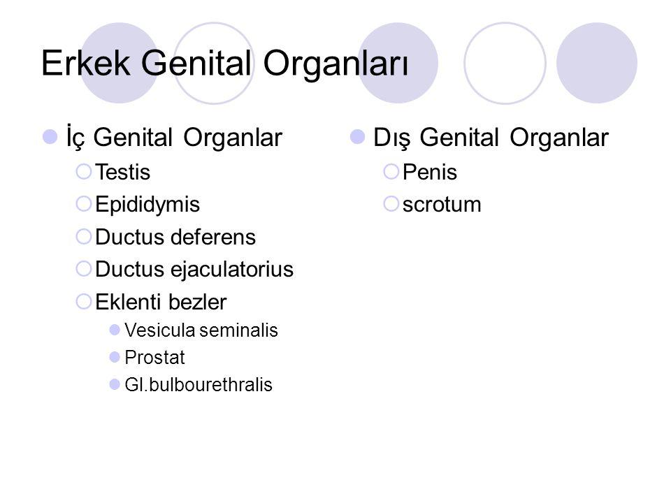 Erkek Genital Organları