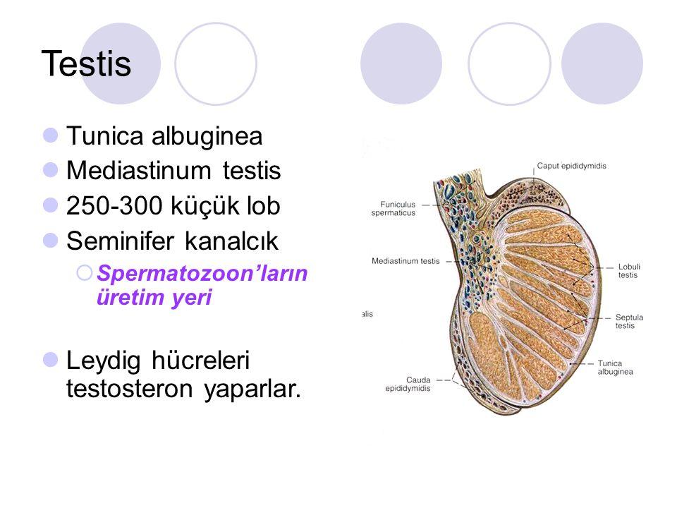 Testis Tunica albuginea Mediastinum testis 250-300 küçük lob