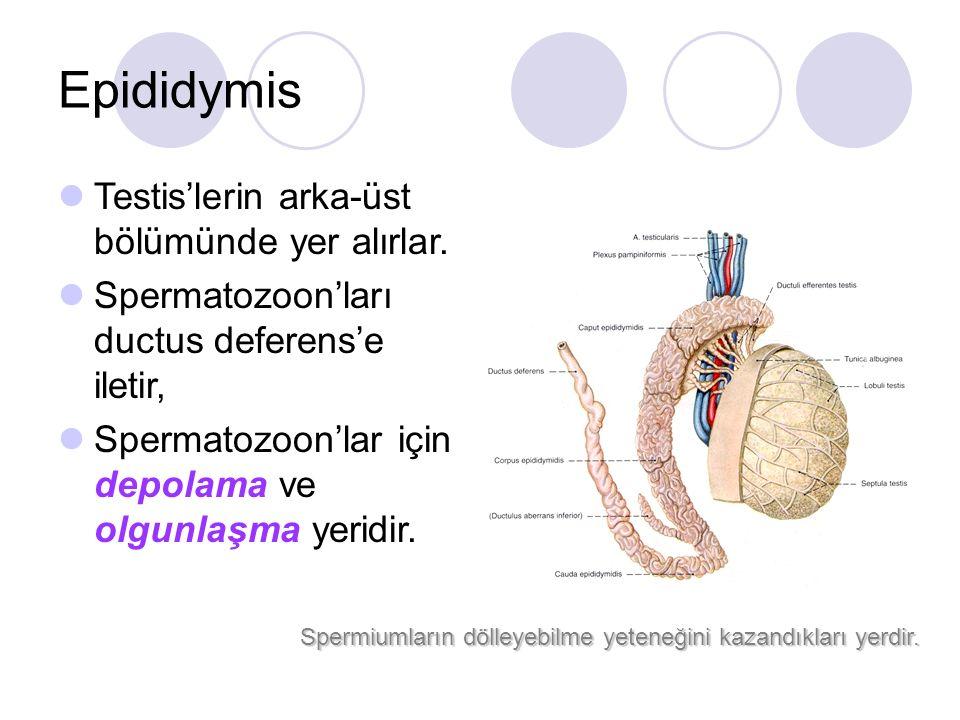 Epididymis Testis'lerin arka-üst bölümünde yer alırlar.