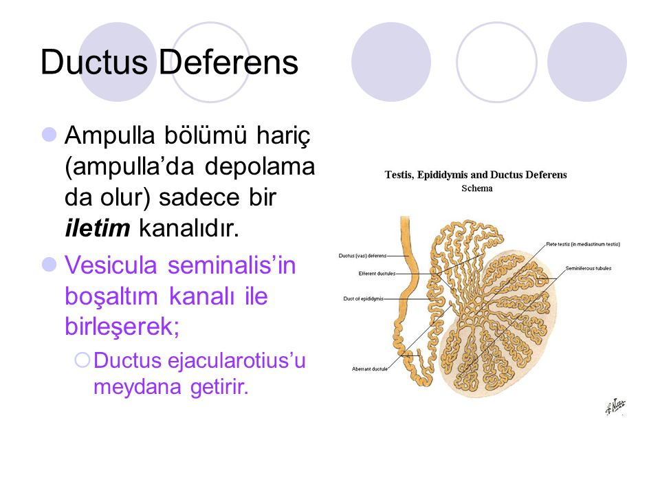 Ductus Deferens Ampulla bölümü hariç (ampulla'da depolama da olur) sadece bir iletim kanalıdır.