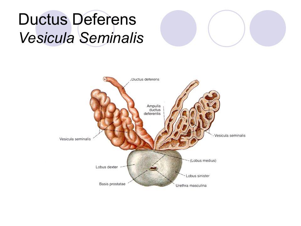 Ductus Deferens Vesicula Seminalis