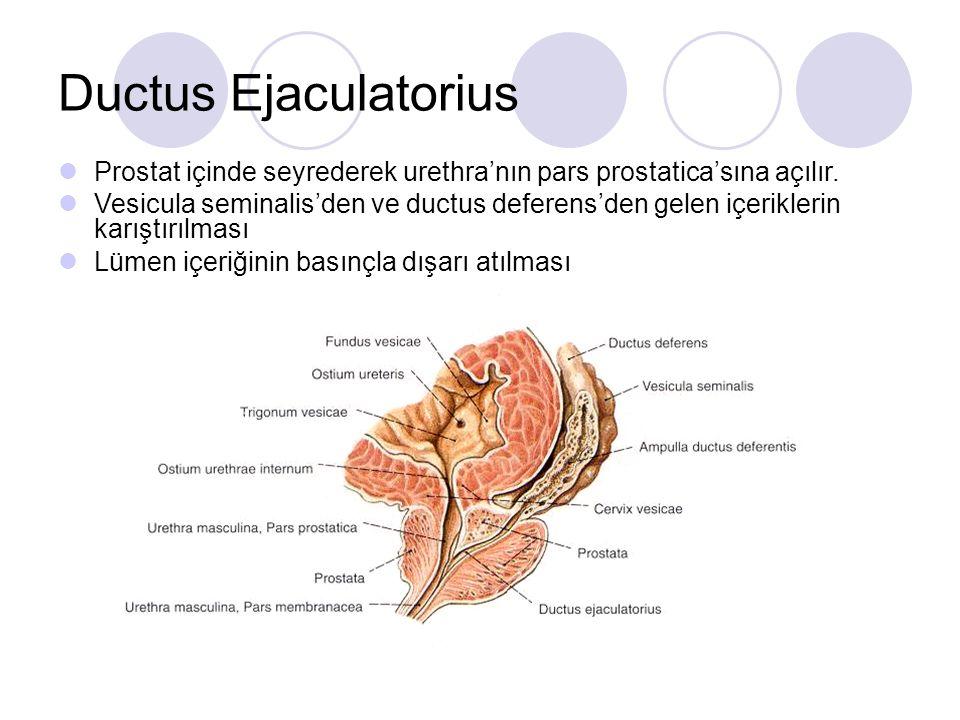 Ductus Ejaculatorius Prostat içinde seyrederek urethra'nın pars prostatica'sına açılır.