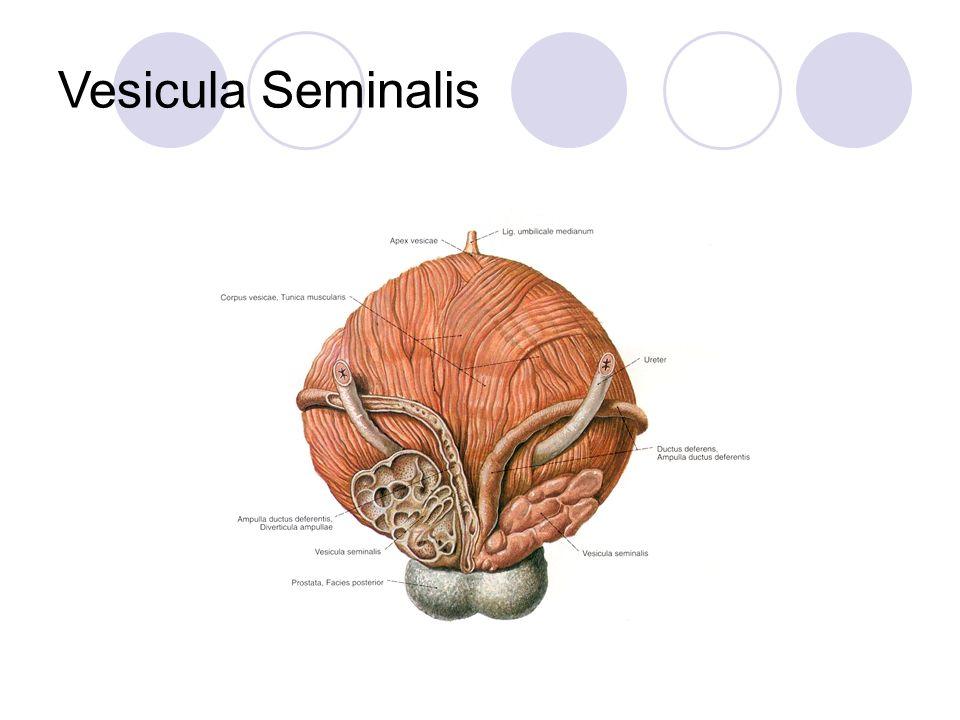 Vesicula Seminalis