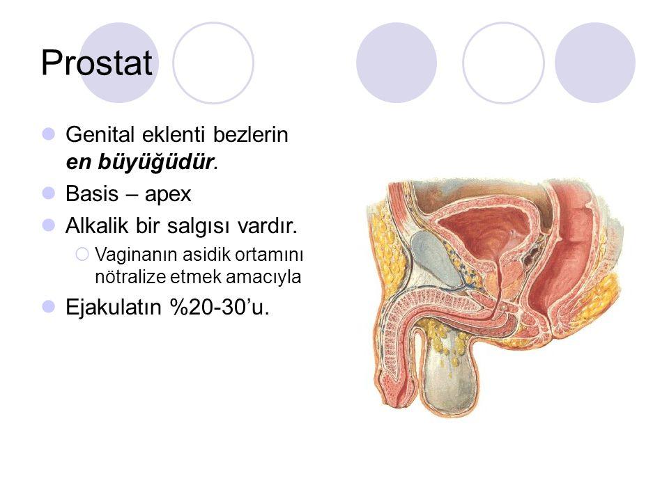 Prostat Genital eklenti bezlerin en büyüğüdür. Basis – apex