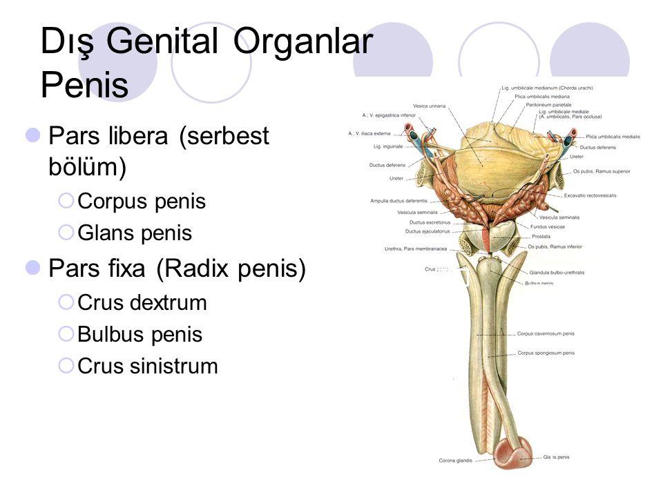 Dış Genital Organlar Penis