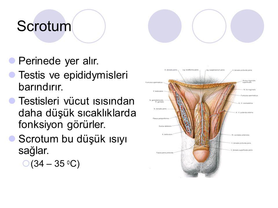 Scrotum Perinede yer alır. Testis ve epididymisleri barındırır.