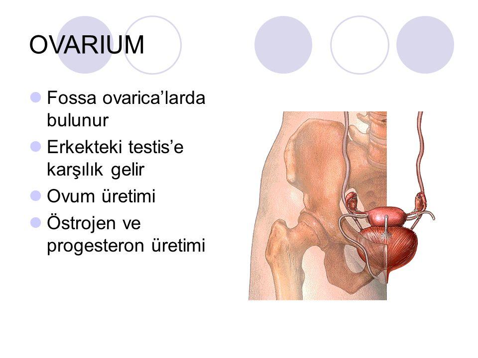 OVARIUM Fossa ovarica'larda bulunur Erkekteki testis'e karşılık gelir