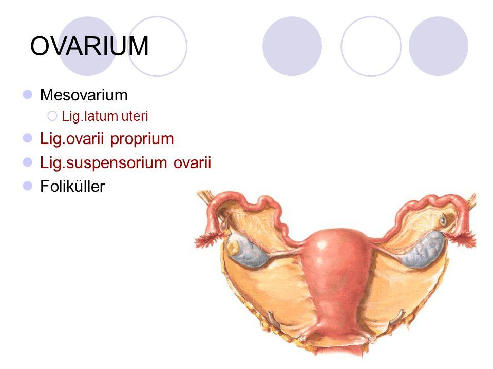 OVARIUM Mesovarium Lig.ovarii proprium Lig.suspensorium ovarii