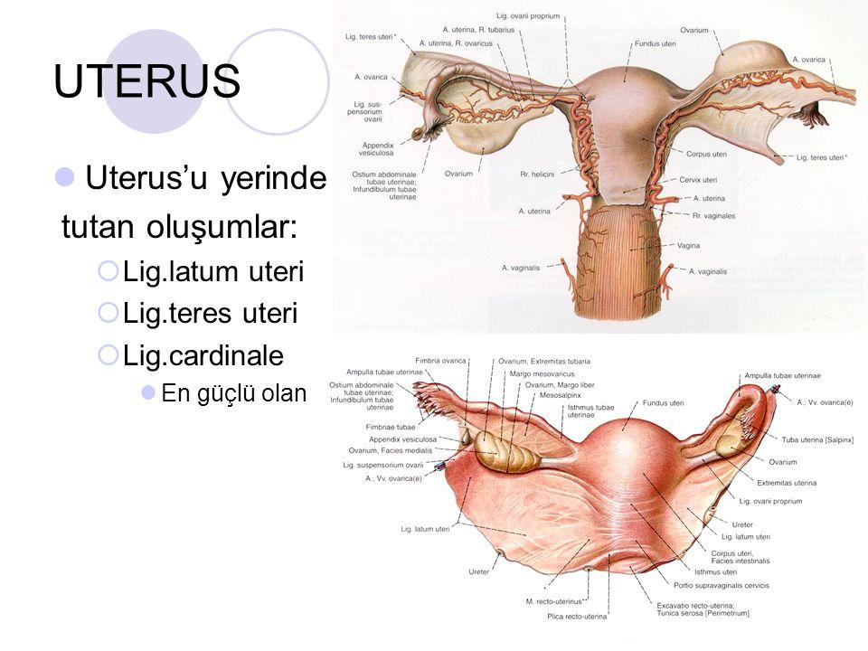 UTERUS Uterus'u yerinde tutan oluşumlar: Lig.latum uteri
