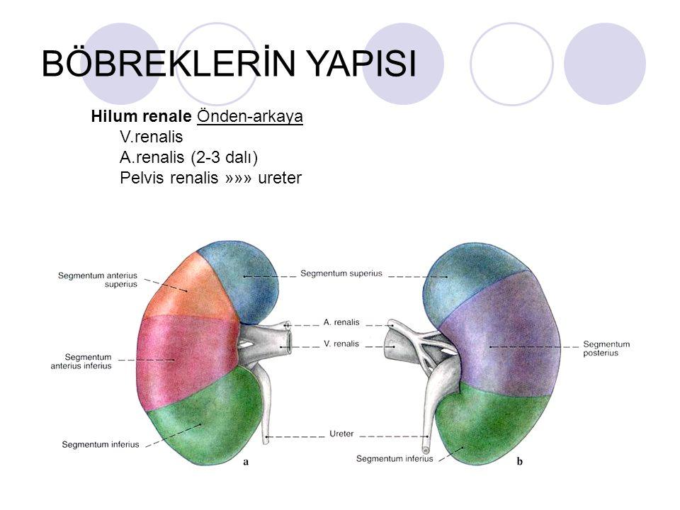 BÖBREKLERİN YAPISI Hilum renale Önden-arkaya V.renalis