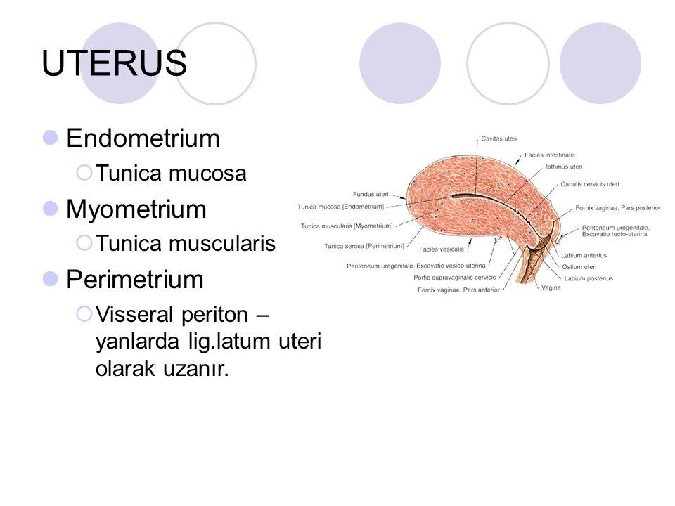UTERUS Endometrium Myometrium Perimetrium Tunica mucosa