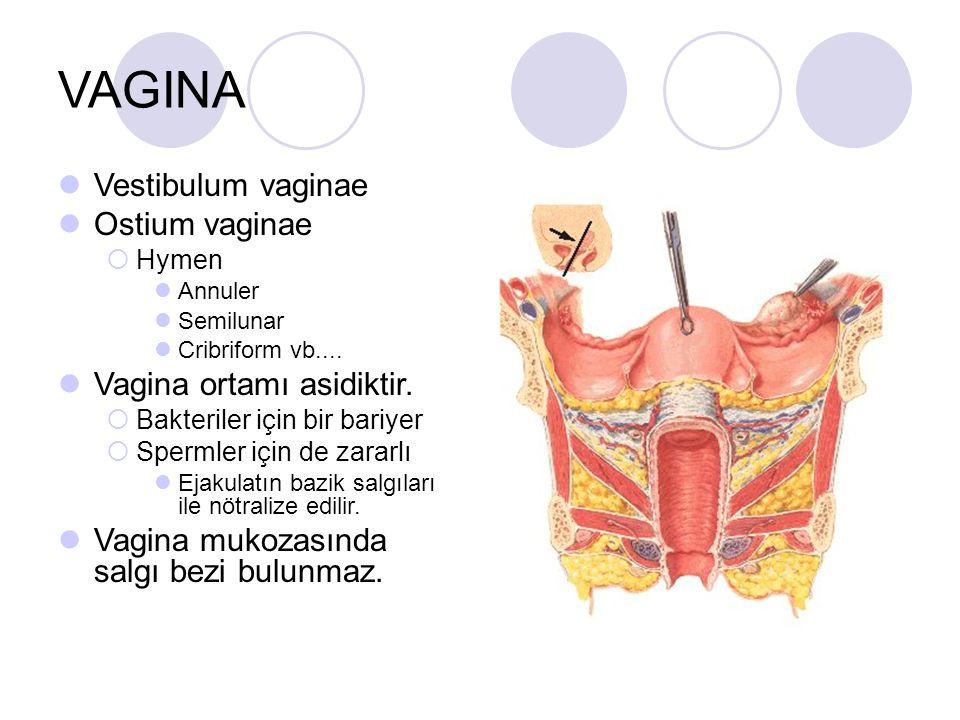 VAGINA Vestibulum vaginae Ostium vaginae Vagina ortamı asidiktir.