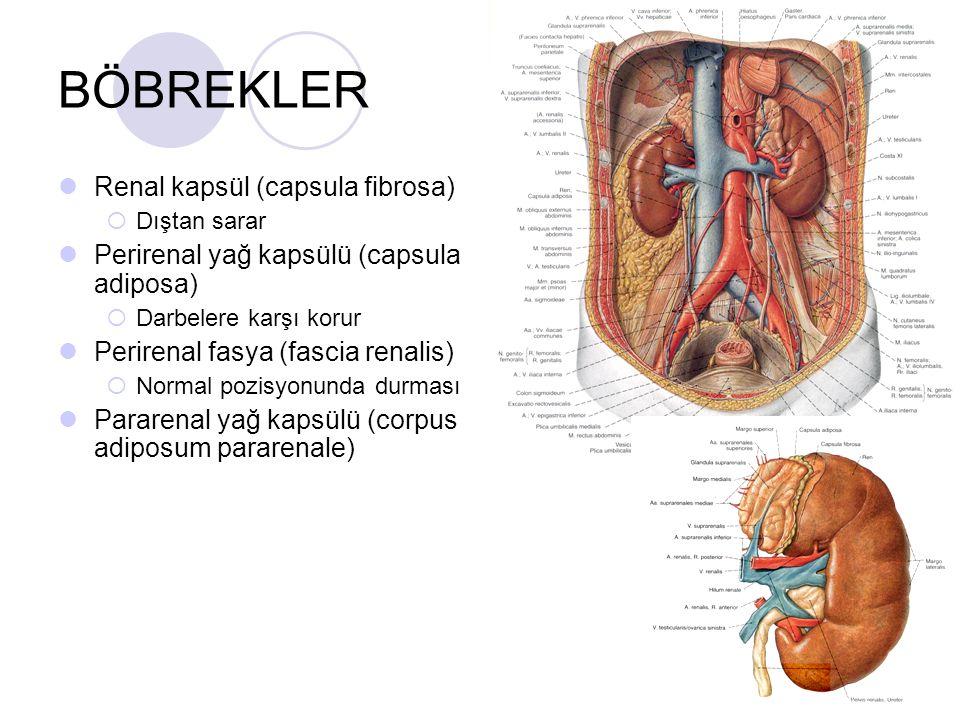 BÖBREKLER Renal kapsül (capsula fibrosa)
