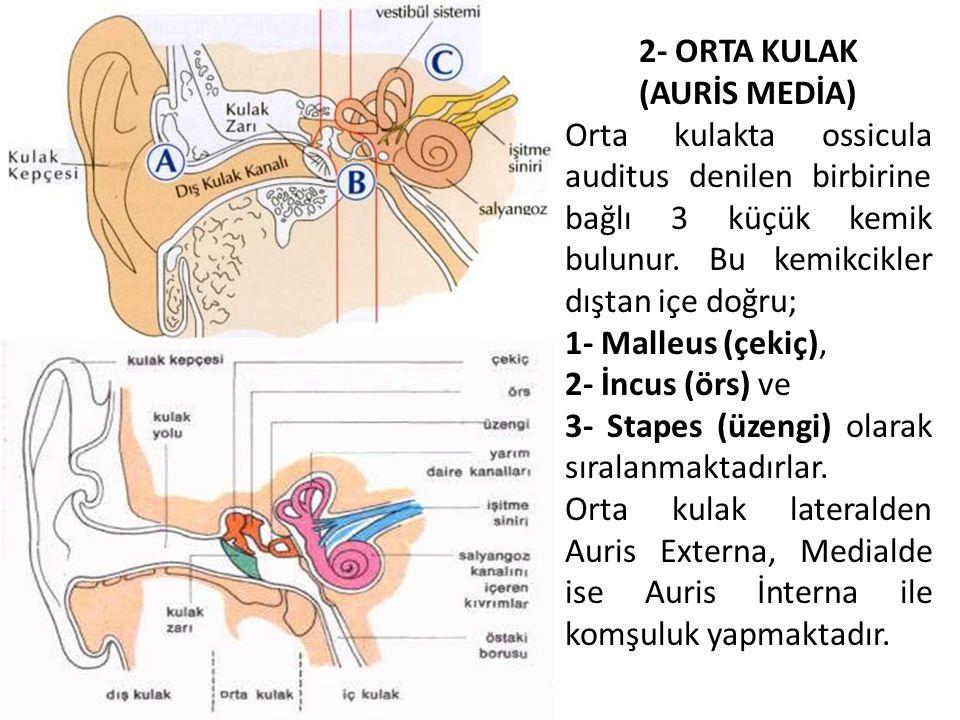 2- ORTA KULAK (AURİS MEDİA) Orta kulakta ossicula auditus denilen birbirine bağlı 3 küçük kemik bulunur. Bu kemikcikler dıştan içe doğru;