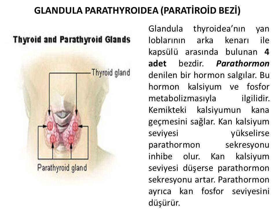 GLANDULA PARATHYROIDEA (PARATİROİD BEZİ)