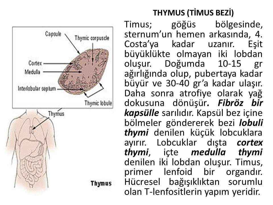 THYMUS (TİMUS BEZİ)