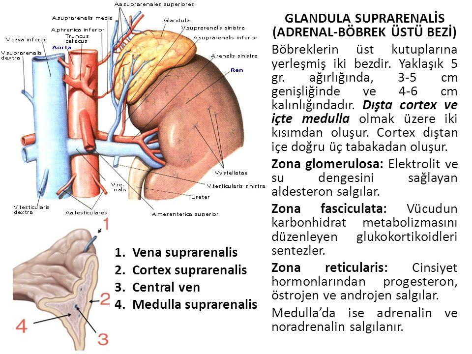 GLANDULA SUPRARENALİS (ADRENAL-BÖBREK ÜSTÜ BEZİ) Böbreklerin üst kutuplarına yerleşmiş iki bezdir. Yaklaşık 5 gr. ağırlığında, 3-5 cm genişliğinde ve 4-6 cm kalınlığındadır. Dışta cortex ve içte medulla olmak üzere iki kısımdan oluşur. Cortex dıştan içe doğru üç tabakadan oluşur. Zona glomerulosa: Elektrolit ve su dengesini sağlayan aldesteron salgılar. Zona fasciculata: Vücudun karbonhidrat metabolizmasını düzenleyen glukokortikoidleri sentezler. Zona reticularis: Cinsiyet hormonlarından progesteron, östrojen ve androjen salgılar. Medulla'da ise adrenalin ve noradrenalin salgılanır.