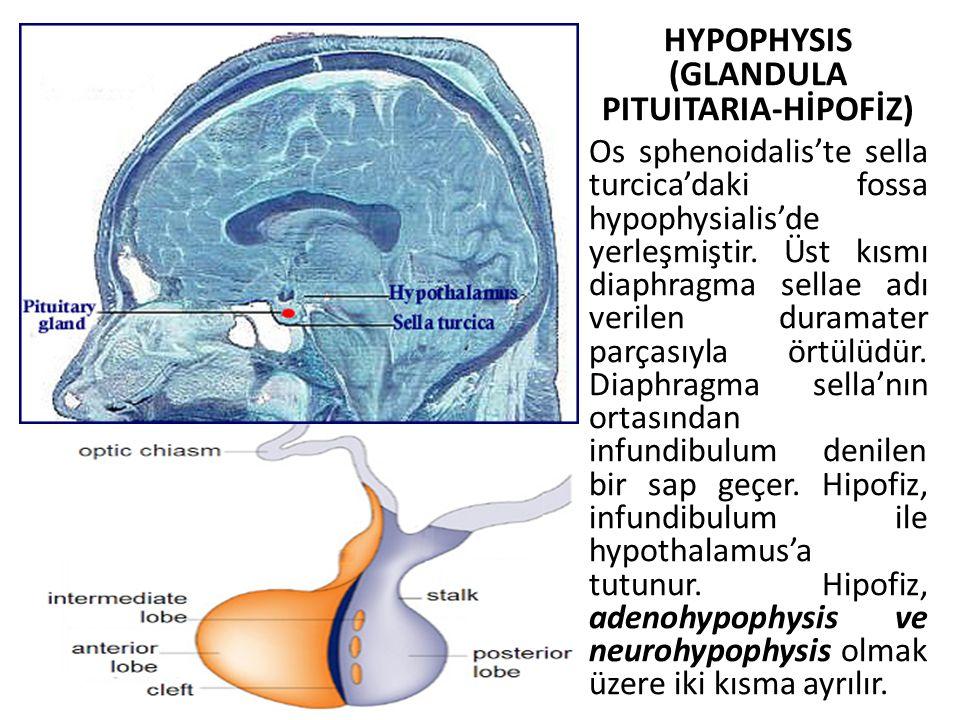 HYPOPHYSIS (GLANDULA PITUITARIA-HİPOFİZ)