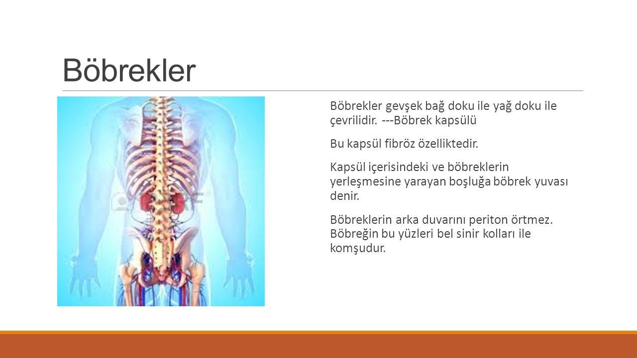 Böbrekler Böbrekler gevşek bağ doku ile yağ doku ile çevrilidir. ---Böbrek kapsülü. Bu kapsül fibröz özelliktedir.