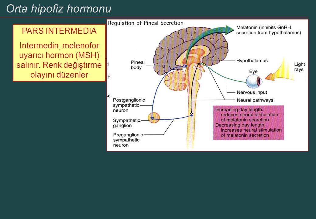 Hipotalamus ve endokrin sistem