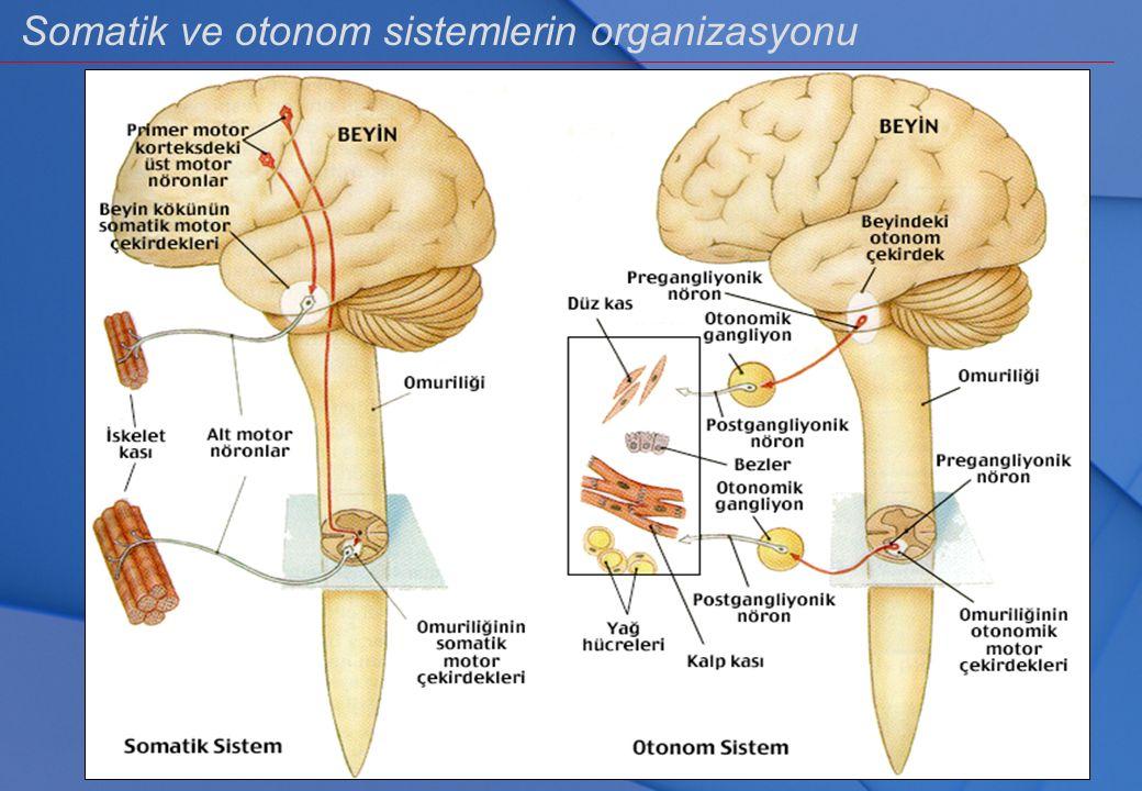 Orta hipofiz hormonu PARS INTERMEDIA