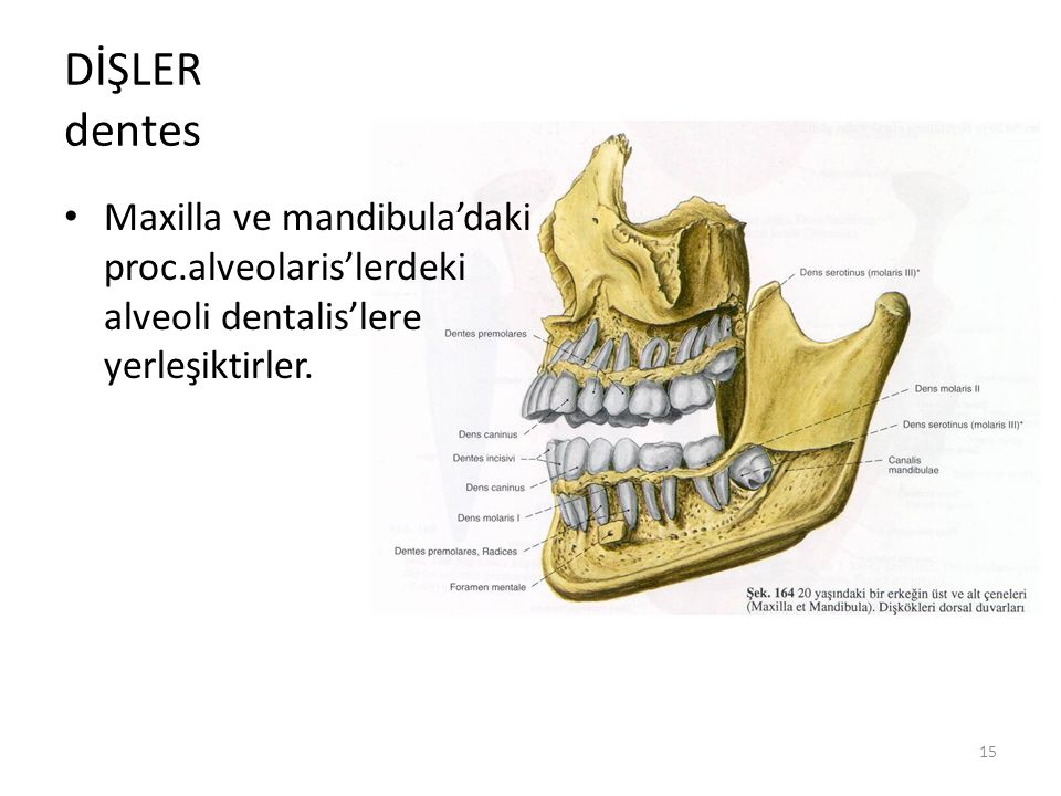 DİŞLER dentes Maxilla ve mandibula'daki proc.alveolaris'lerdeki alveoli dentalis'lere yerleşiktirler.