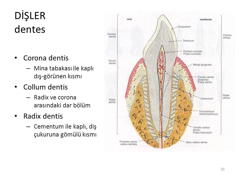 DİŞLER dentes Corona dentis Collum dentis Radix dentis