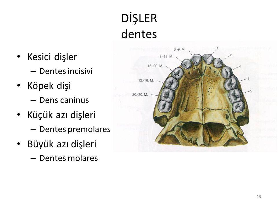 DİŞLER dentes Kesici dişler Köpek dişi Küçük azı dişleri