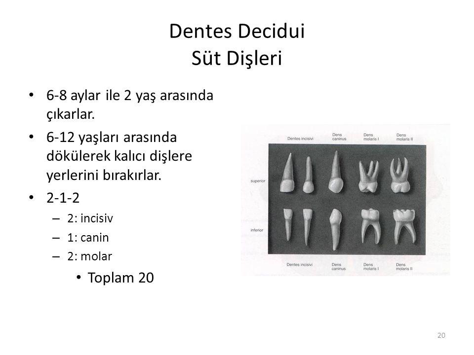 Dentes Decidui Süt Dişleri
