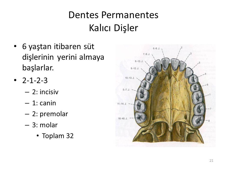 Dentes Permanentes Kalıcı Dişler