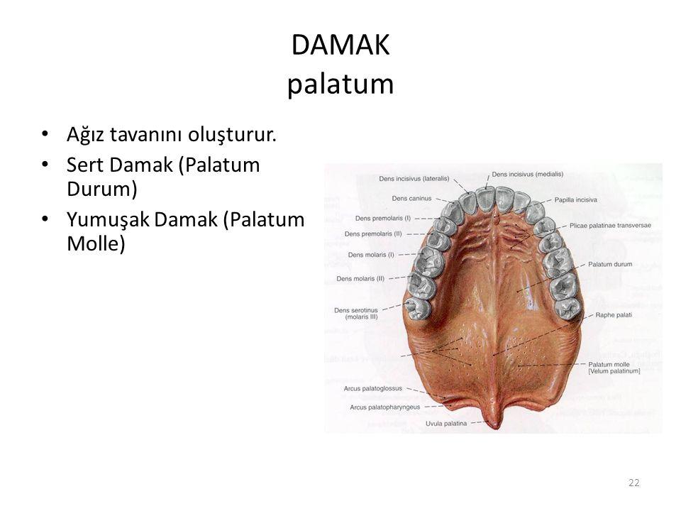 DAMAK palatum Ağız tavanını oluşturur. Sert Damak (Palatum Durum)