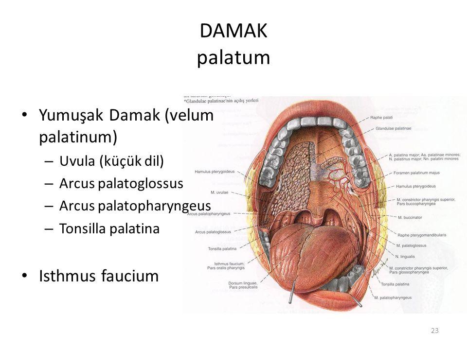 DAMAK palatum Yumuşak Damak (velum palatinum) Isthmus faucium