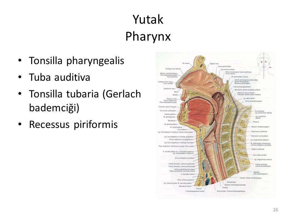Yutak Pharynx Tonsilla pharyngealis Tuba auditiva