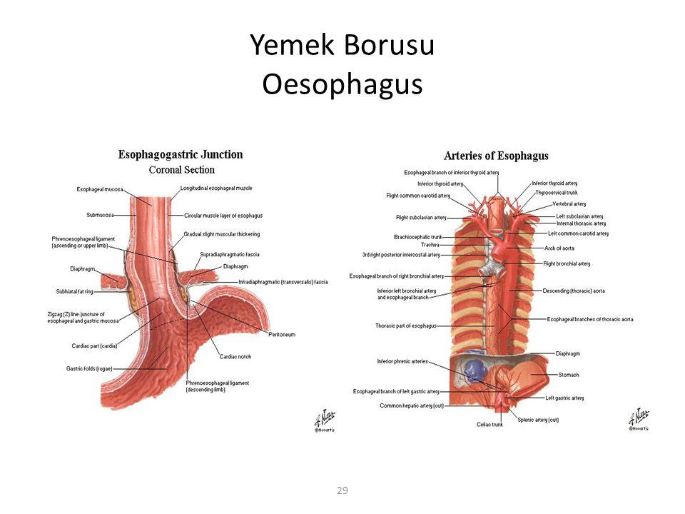 Yemek Borusu Oesophagus