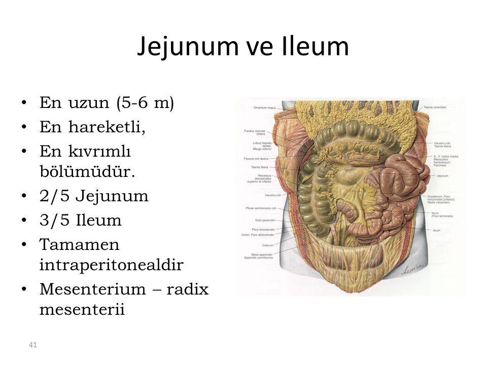 Jejunum ve Ileum En uzun (5-6 m) En hareketli, En kıvrımlı bölümüdür.
