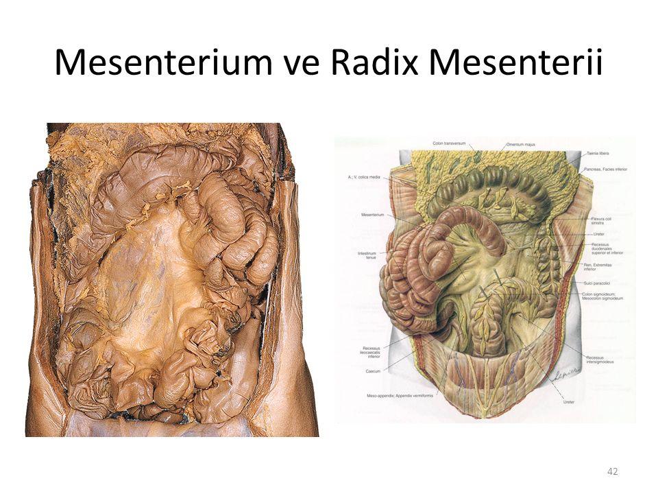 Mesenterium ve Radix Mesenterii