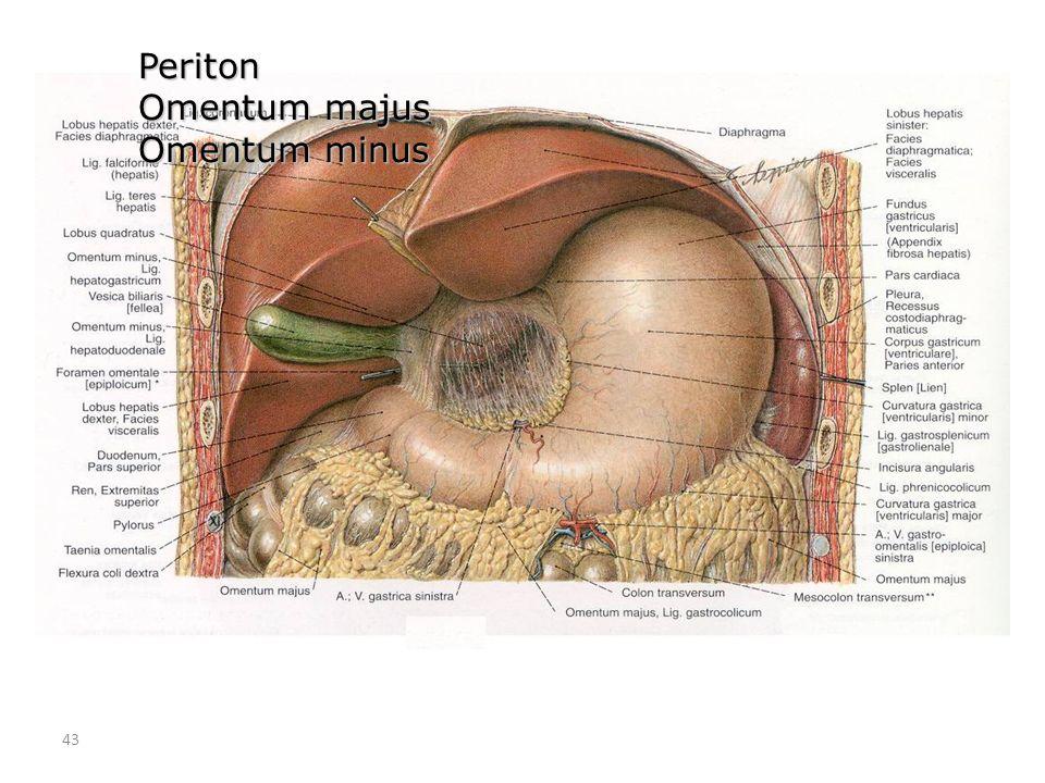 Periton Omentum majus Omentum minus 43