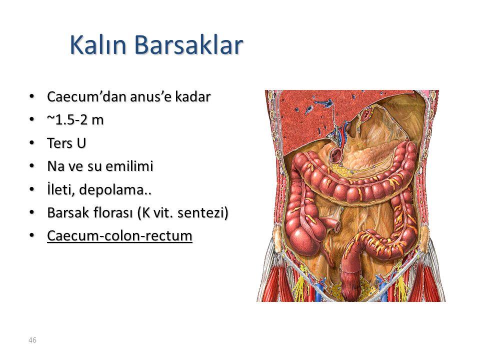 Kalın Barsaklar Caecum'dan anus'e kadar ~1.5-2 m Ters U