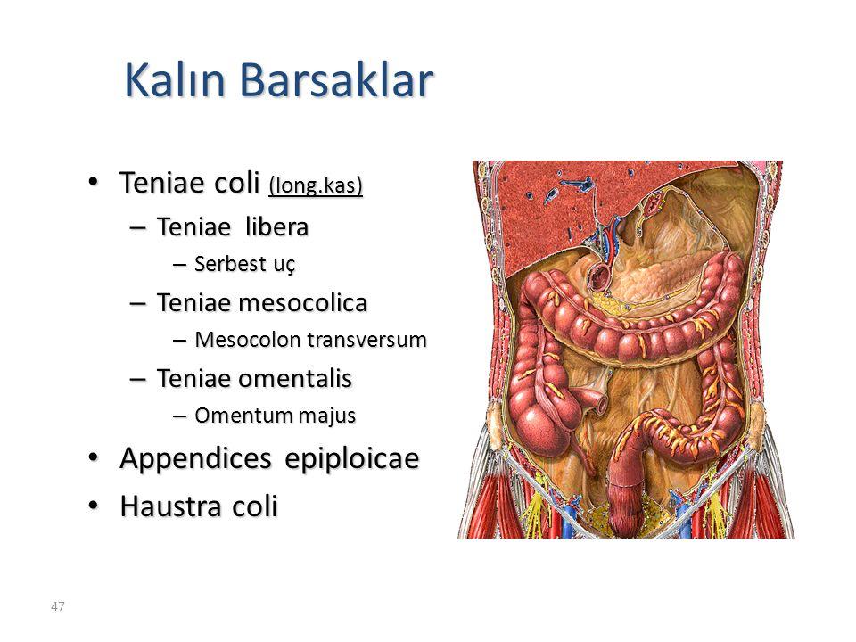 Kalın Barsaklar Teniae coli (long.kas) Appendices epiploicae