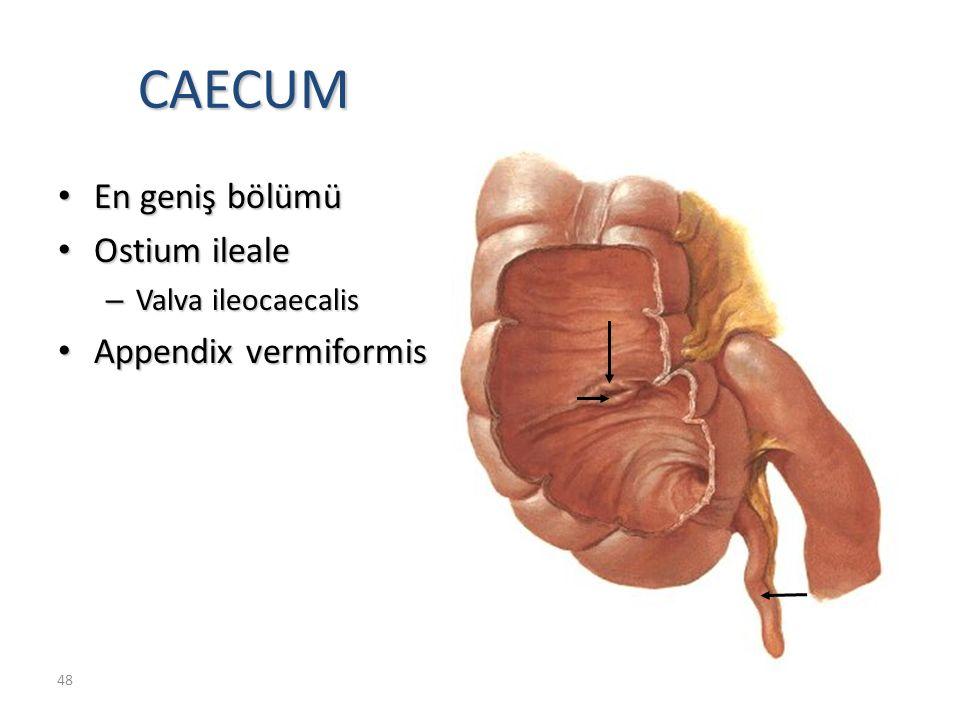 CAECUM En geniş bölümü Ostium ileale Appendix vermiformis